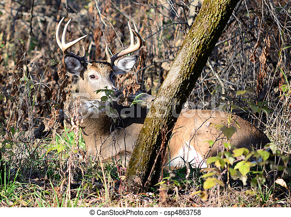 Whitetail Deer Buck - csp4863758