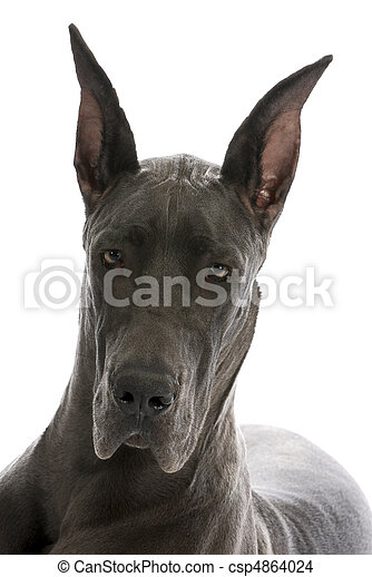 great dane portrait - csp4864024
