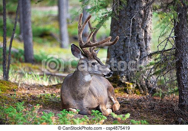 White Tail Deer Resting - csp4875419