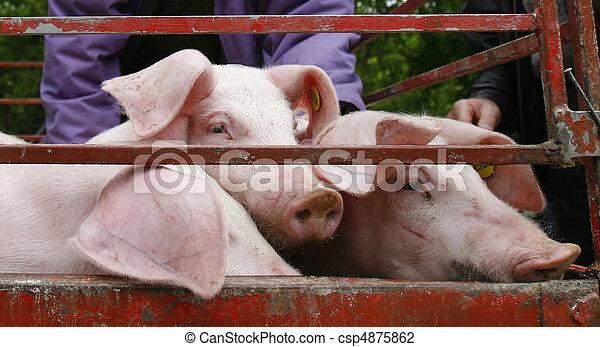 domestico, carne di maiale, Agricoltura, animale, maiale - csp4875862