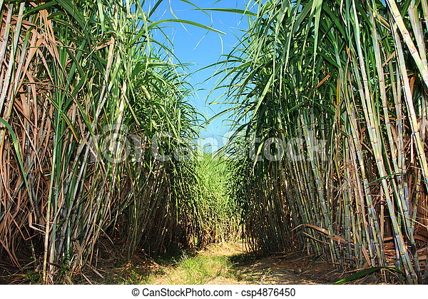 Sugar cane plantation - csp4876450