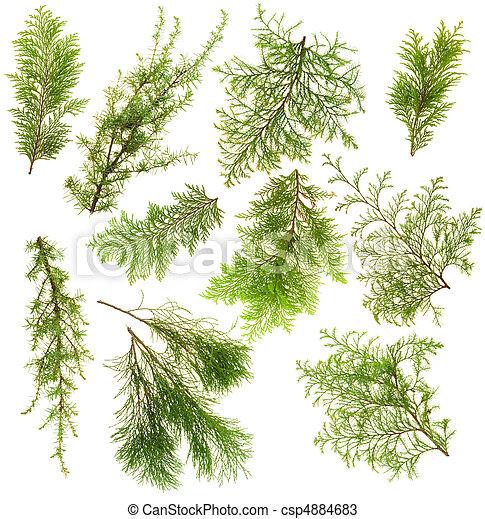 Stock de fotos de rbol hoja perenne plantas ramas for Arboles de hoja perenne para jardin