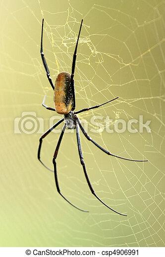 Nephila, Edderkop, -, Afrikansk, Naturliv - csp4906991