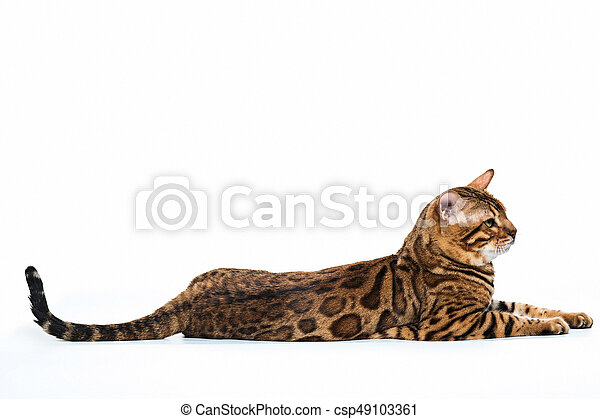 The gold Bengal Cat on white background at studio