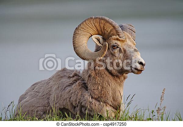 Big Horn Sheep - csp4917250