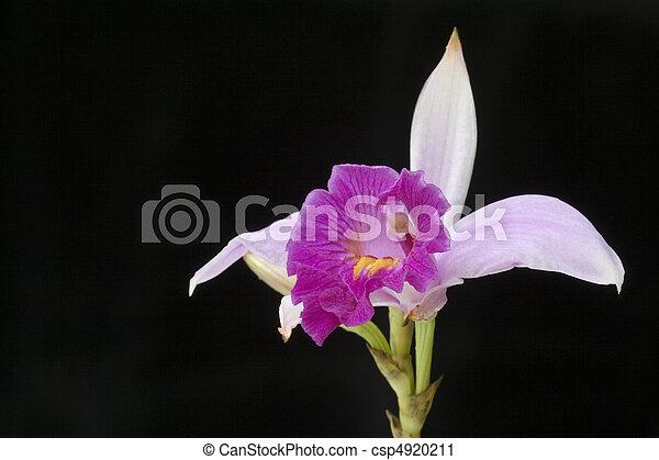 Malaysian Wild Orchid (Arundina graminifolia) - csp4920211