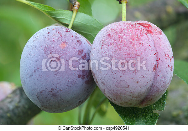 Two ripe fruits of a Japanese plum - csp4920541