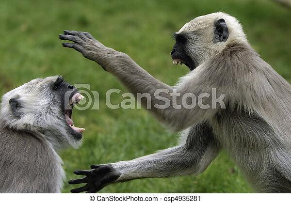 Angry Monkeys Fighting Fighting Monkeys Two Monkeys