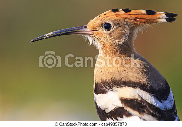 hoopoe portrait of wild birds - csp49357870