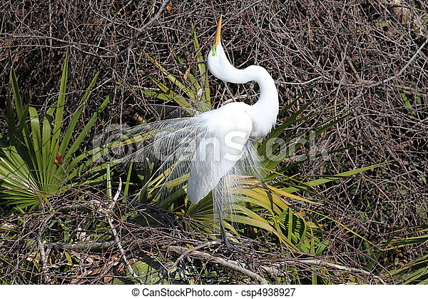 Great Egret Breeding Display - csp4938927