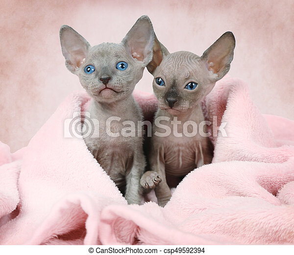 Portrait of two Don Sphinx kitties (one month old) covered by a white blanket