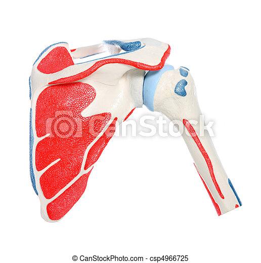 Shoulder bone - csp4966725