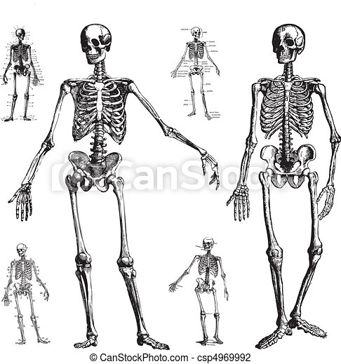 Vector Skeletons - csp4969992