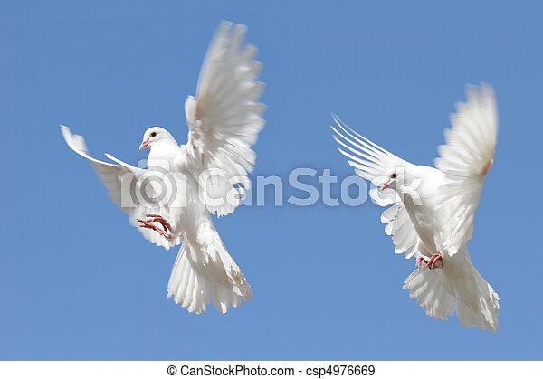 White doves in flight - csp4976669
