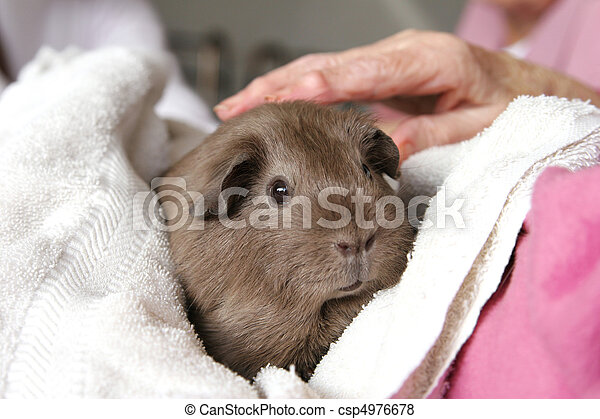 Pet therapy guinea pig - csp4976678