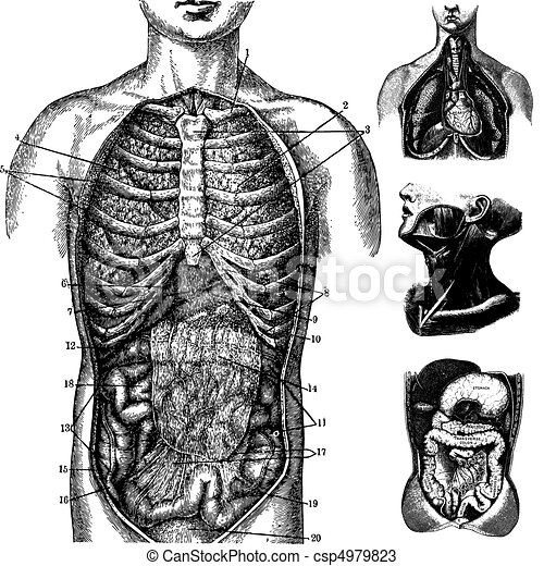 Vector Anatomical Graphics - csp4979823