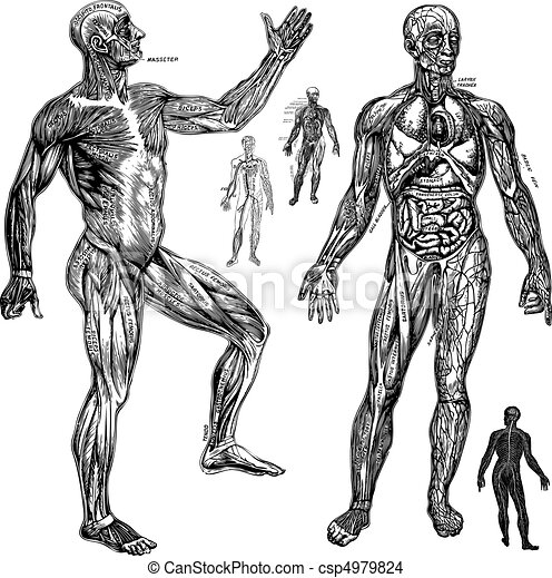 Vector Anatomical Graphics - csp4979824
