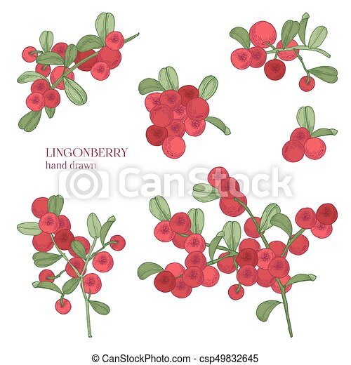 Lingonberry set. Detailed hand drawn branches with berries. Colorful hand drawn illustrations. - csp49832645