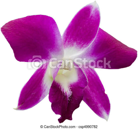 stock photo of purple orchid on white background  tropical flower, Natural flower