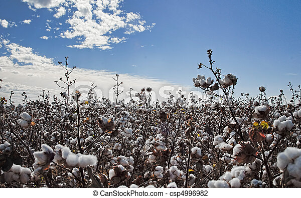 cotton field ready to harvest - csp4996982