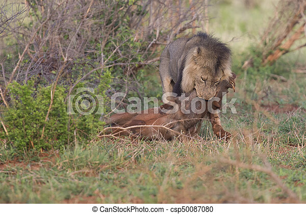 Old hungry male lion rests after killing warthog to eat - csp50087080