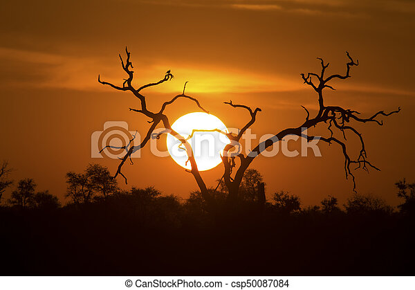 African sunset with a tree silhouette and large orange sun - csp50087084