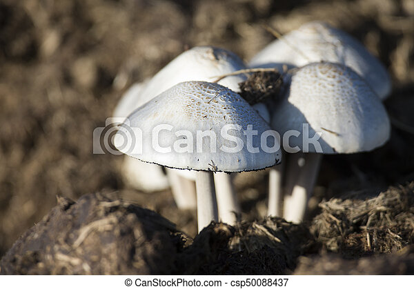 Close-up of small white mushrooms growing on dung - csp50088437