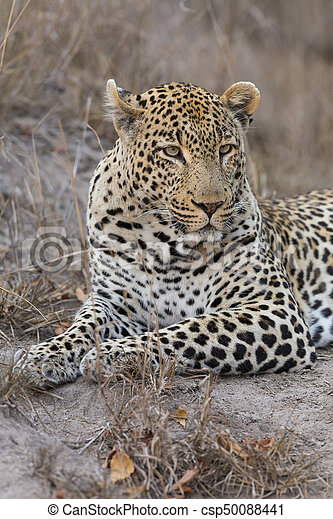 Portrait leopard lay down in at dusk to rest and relax - csp50088441