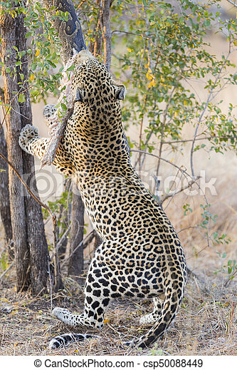 Strong and hungry leopard catch a rock python - csp50088449
