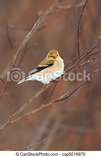Wild American Goldfinch in Winter Plumage - csp5016970