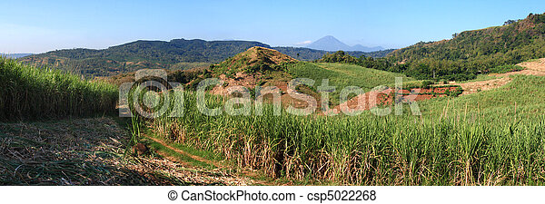landscape of sugar cane field - csp5022268