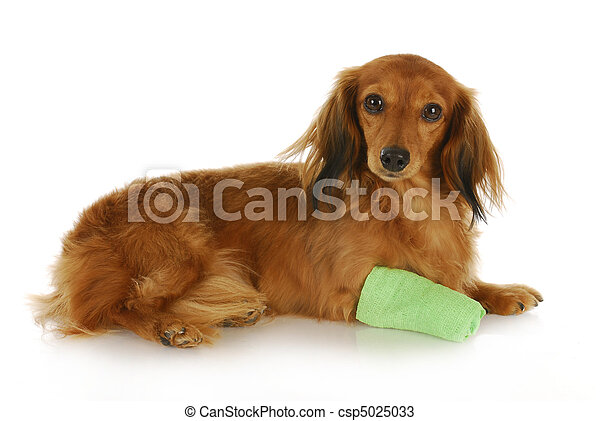 dog with wounded paw - csp5025033