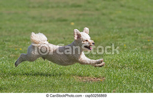 Dog running on grass - csp50256869