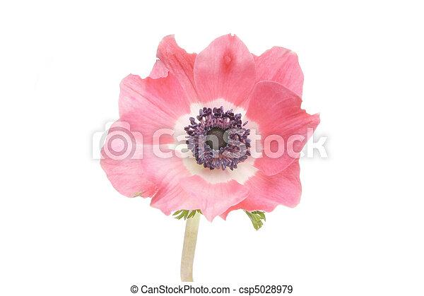 Anemone flower - csp5028979