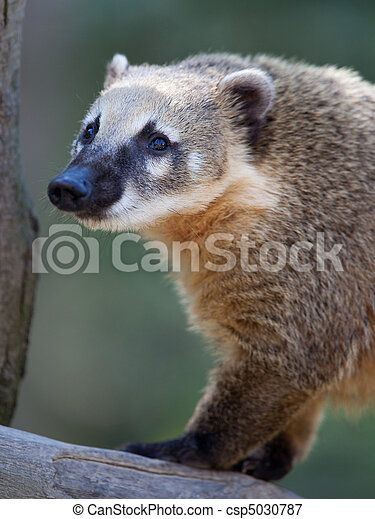 Close-up portrait of a very cute White-nosed Coati - csp5030787