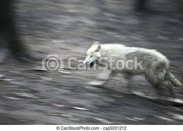 Arctic Wolf (Canis lupus arctos) - csp5031212