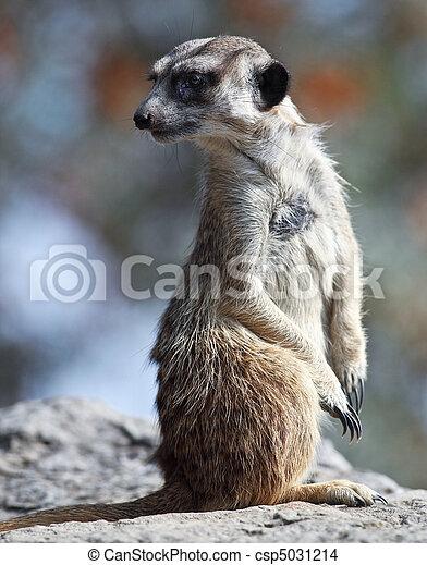 watchful meerkat standing guard  - csp5031214