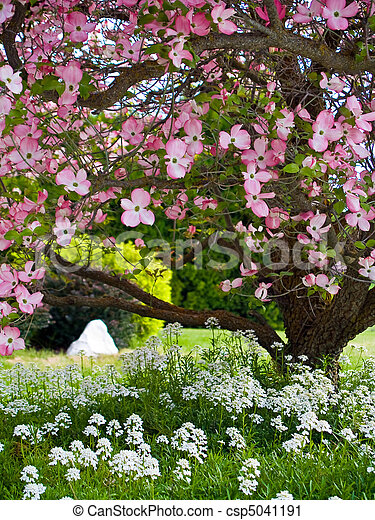 Pink blooms adorn a Dogwood tree in spring - csp5041191