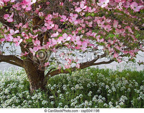 images de rose printemps arbre cornouiller fleurs parer rose csp5041198 recherchez. Black Bedroom Furniture Sets. Home Design Ideas