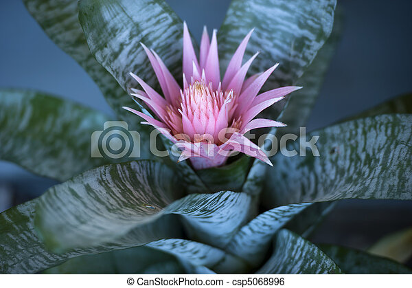 Aechmea fasciata bromeliad flower - csp5068996