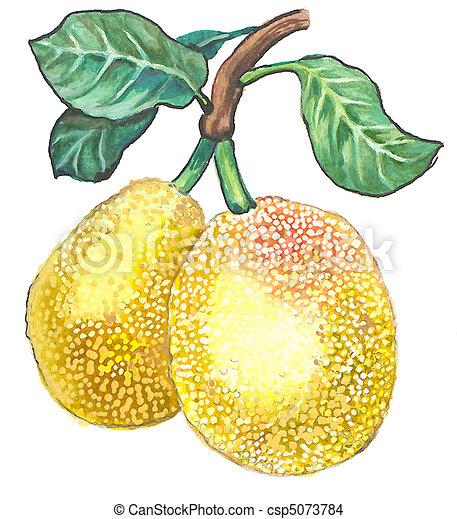 Jackfruit - csp5073784