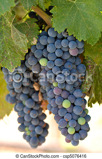 Red Grapes on the Vine in Napa Valley California - csp5076416
