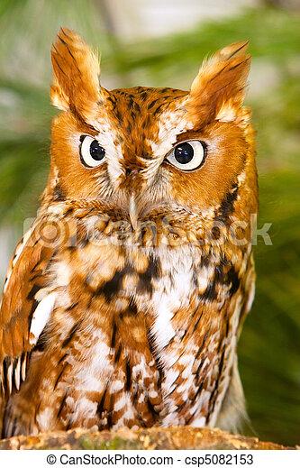 Captive Screech Owl Closeup - csp5082153