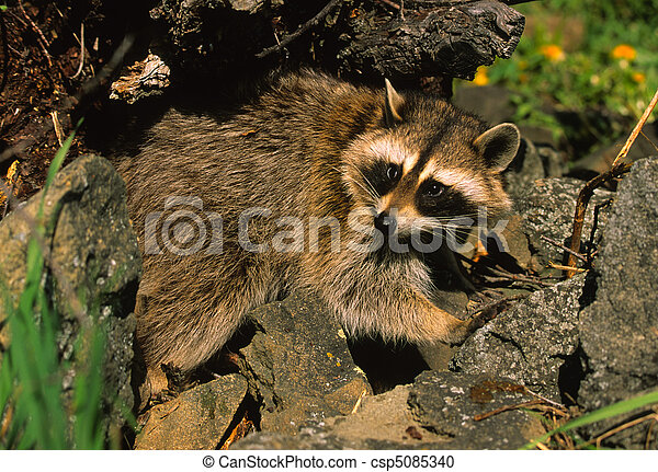 Raccoon in Rocks - csp5085340