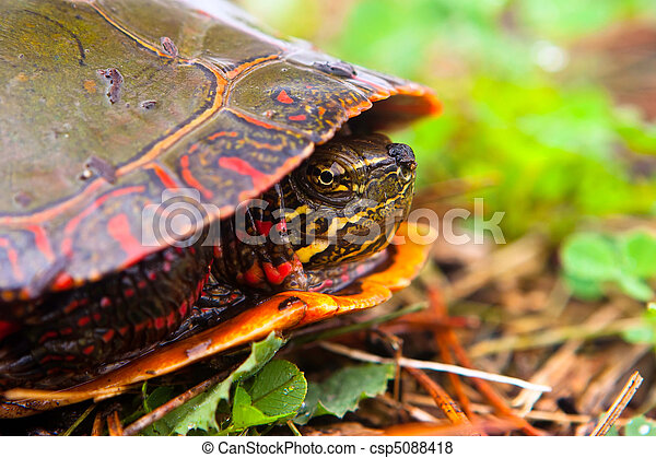 Curious Wild Painted Turtle Peaks From Shell.  Profile Shot Of Turtle. - csp5088418
