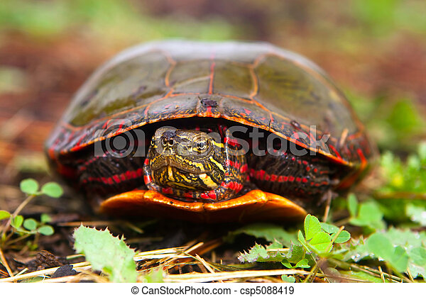 Curious Turtle Peeks Head From Shell - csp5088419