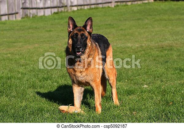German Shepherd Male - csp5092187