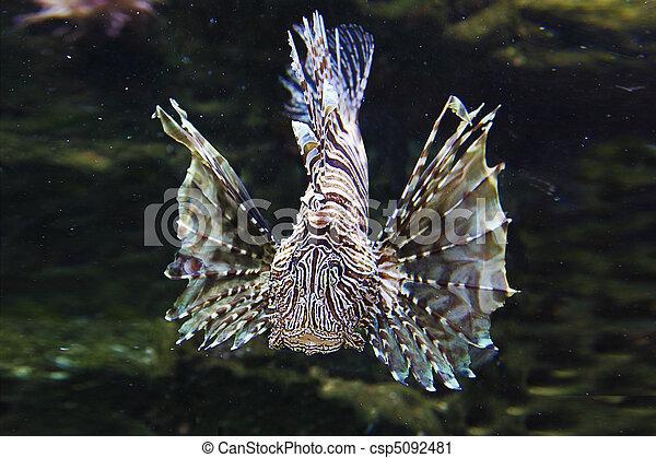 japonés, Lionfish, león, pez - csp5092481