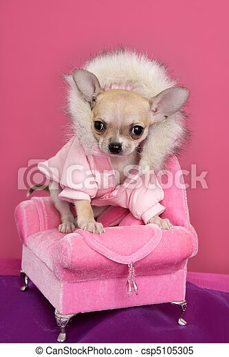 fashion chihuahua dog barbie style pink armchair - csp5105305