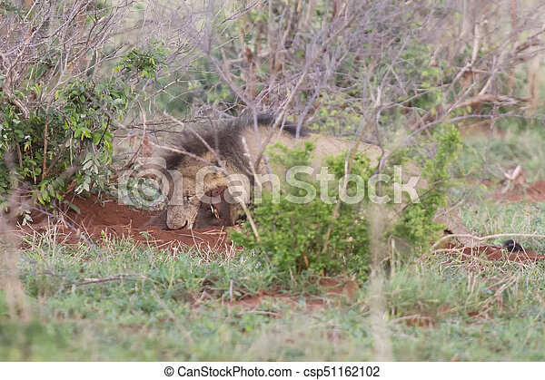Old male lion digs a warthog from its burrow in nature - csp51162102